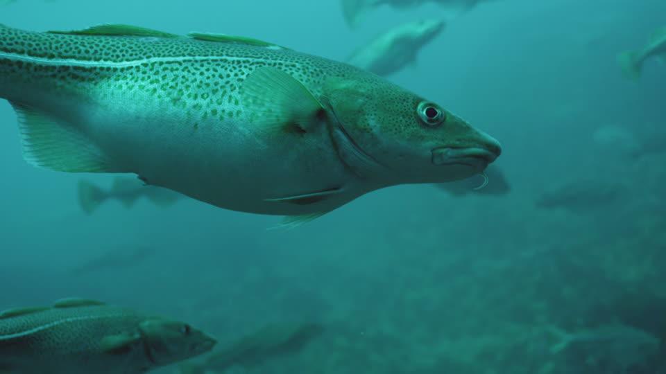 La familia del Bacalao: especies